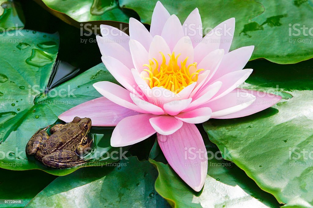 Beauty in nature - frog and water lily stock photo
