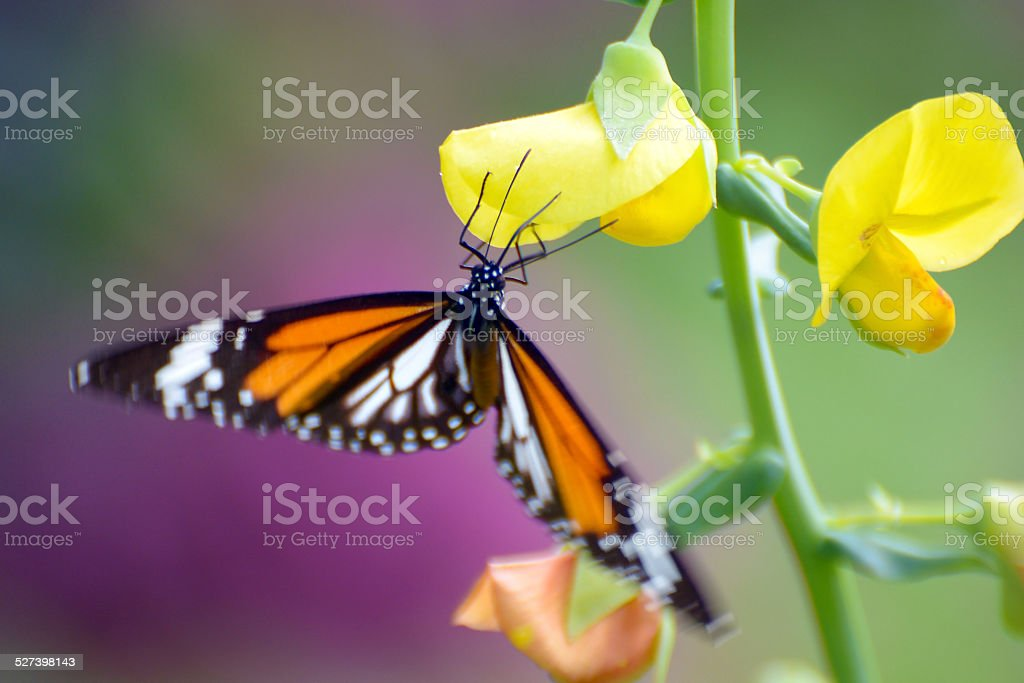 Beauty in nature (Butterfly and Flowers) royalty-free stock photo
