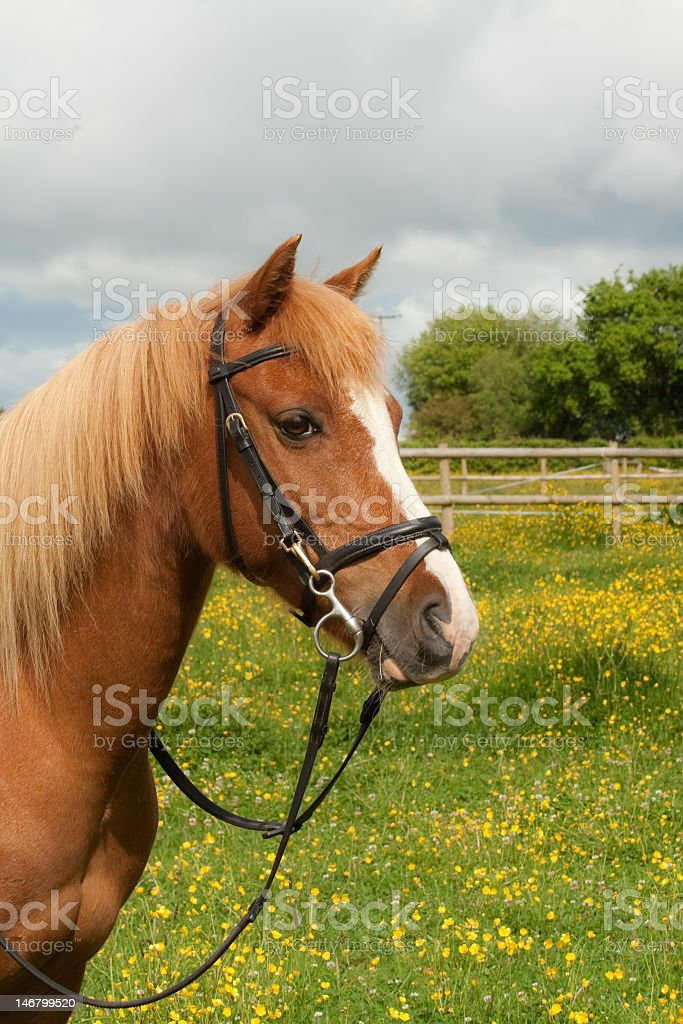 Beauty in the buttercups. royalty-free stock photo