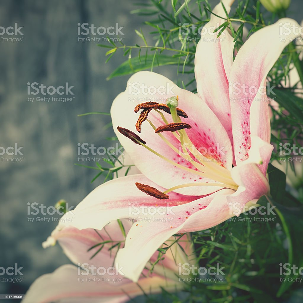 beauty lily flower, abstract natural backgrounds stock photo