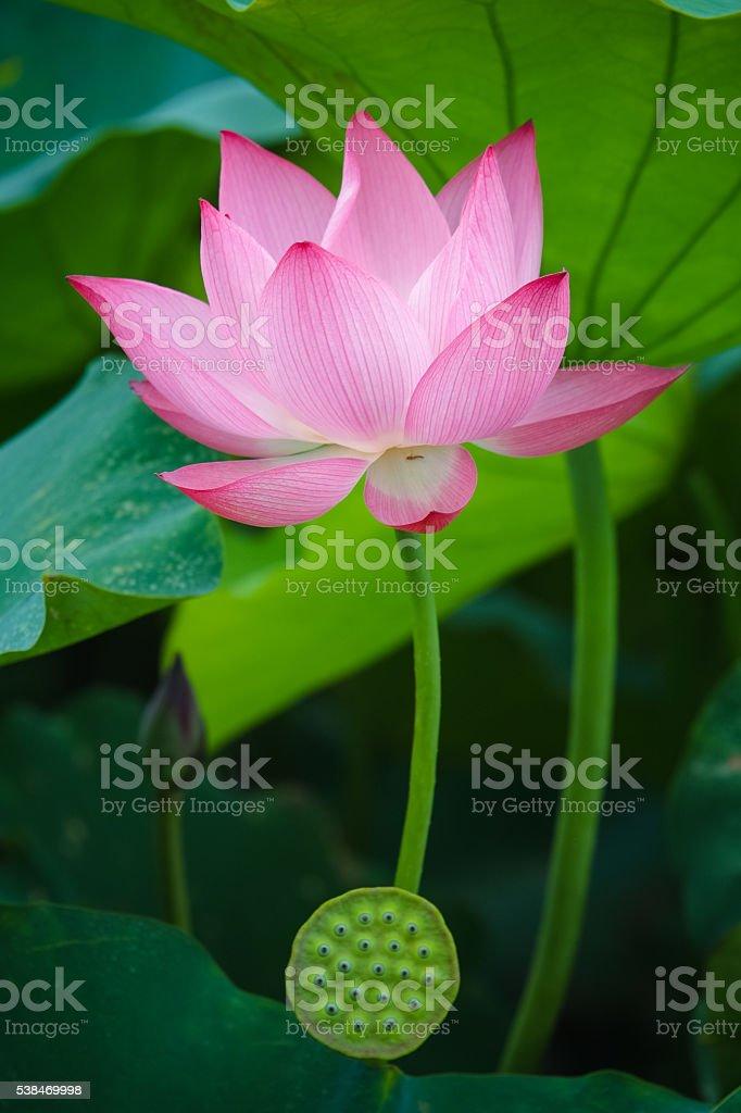 Beauty lotus flower stock photo