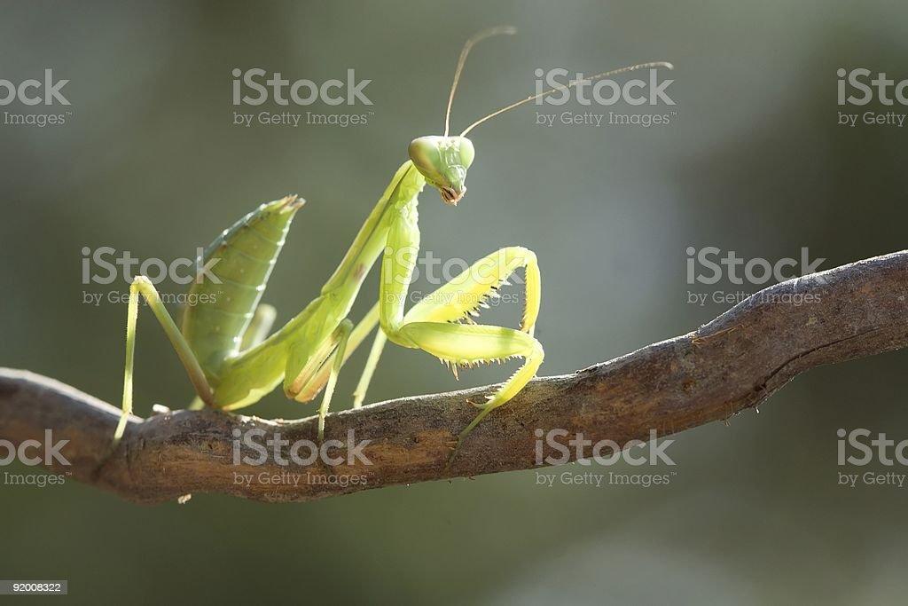Beauty mantis. stock photo