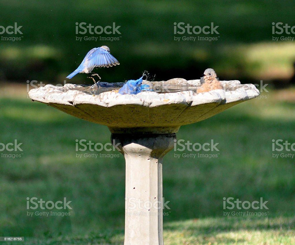 Belleza de una Bluebird landing foto de stock libre de derechos