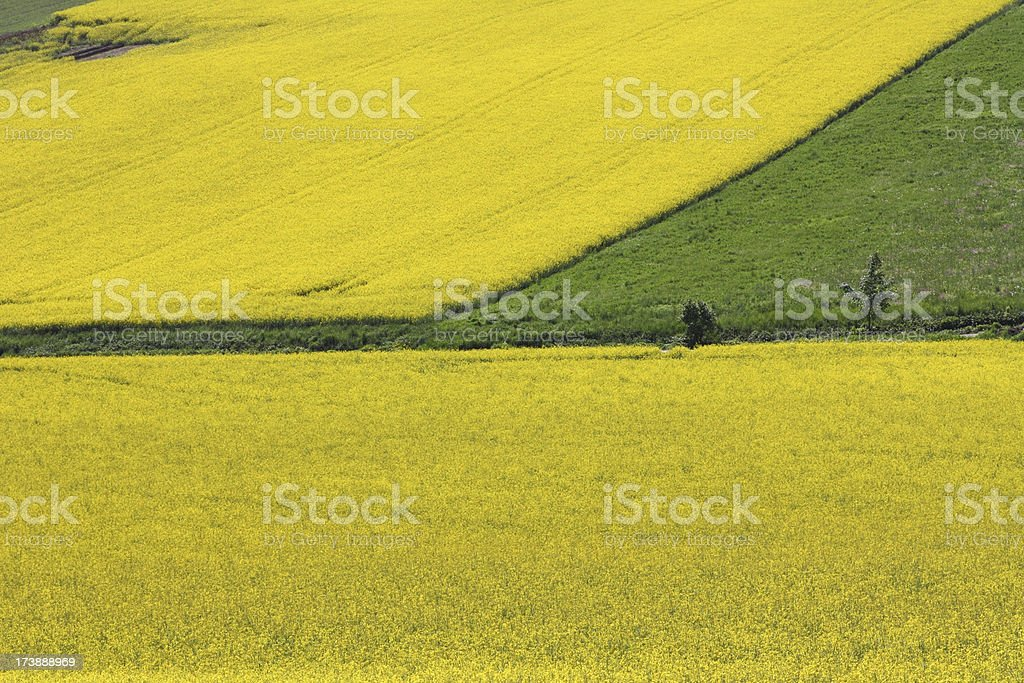 Beauty of agriculture - Rape royalty-free stock photo