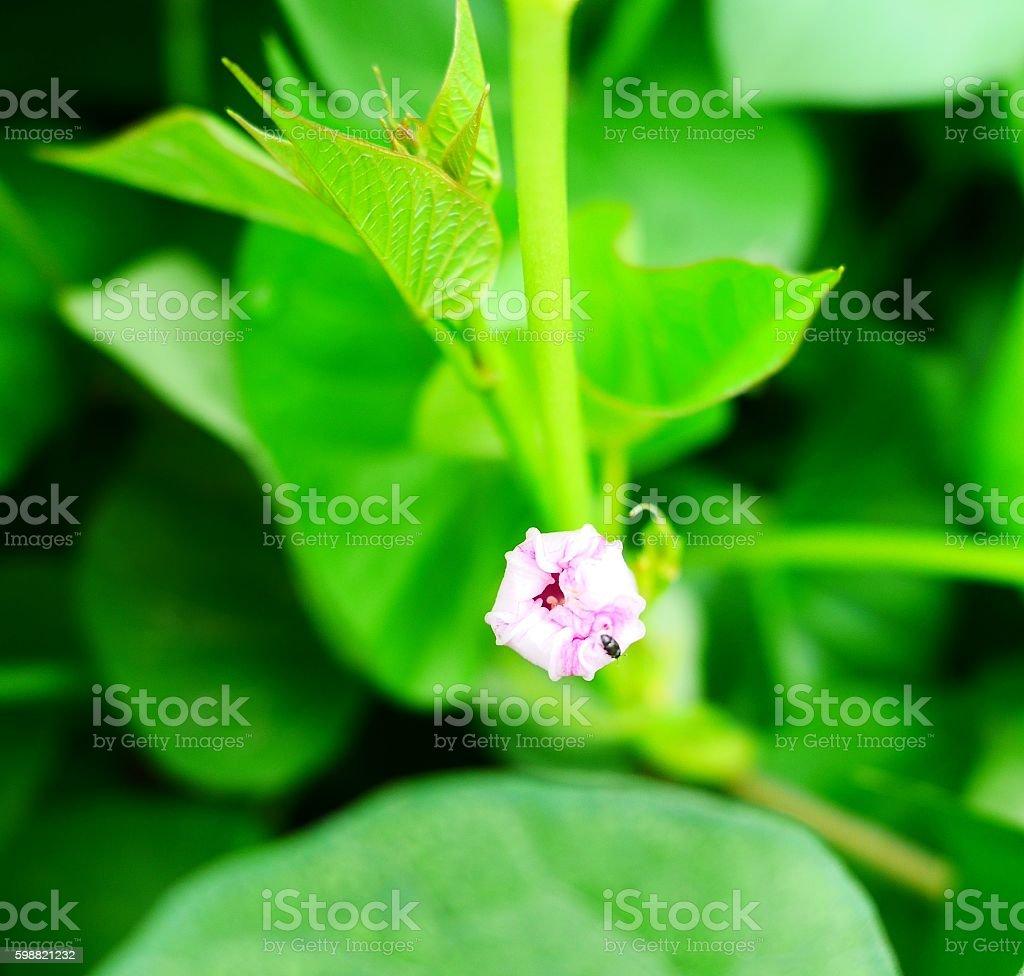 beauty of ipomoea stock photo