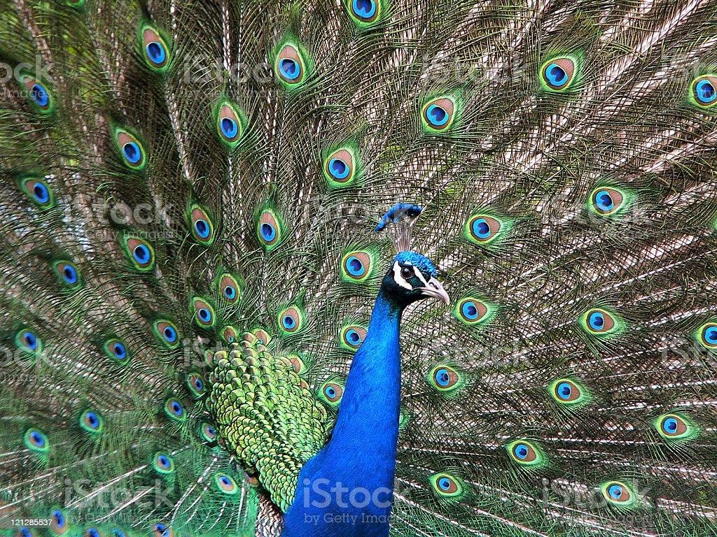 Beauty of nature - Peacock royalty-free stock photo