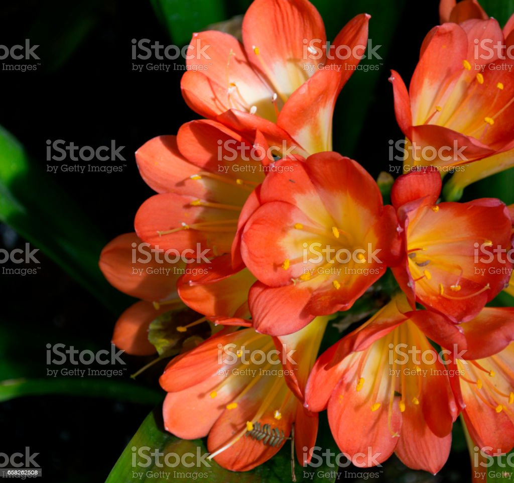 Beauty of the Afrian Lily stock photo