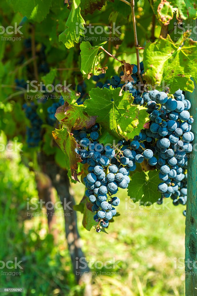 Beauty of vineyards in ready for harvest stock photo