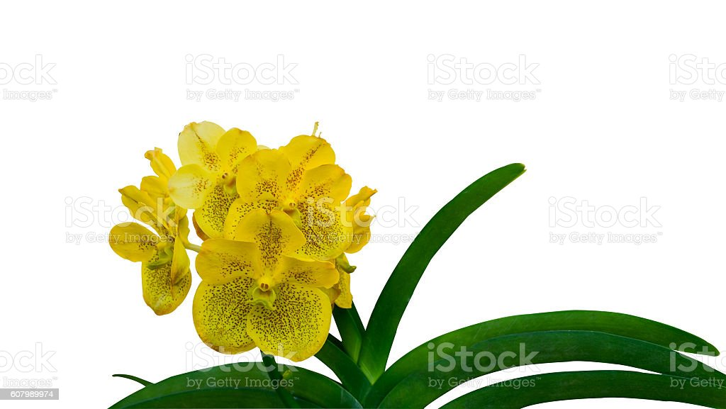 Beauty Orchid flower stock photo