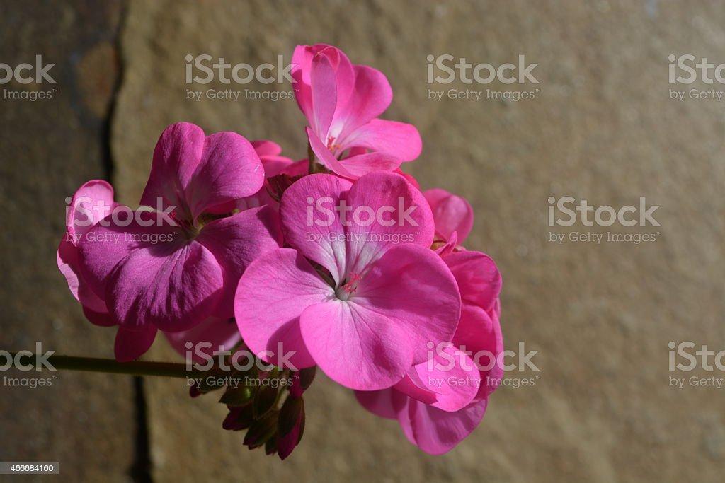 Beauty pink geranium stock photo