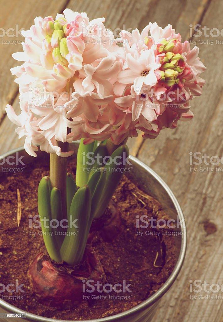 Beauty Pink Hyacinths stock photo