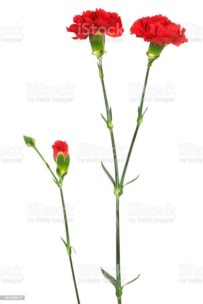beauty scarlet carnations stock photo