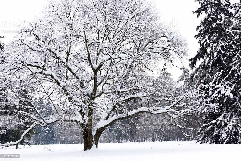 Beauty Snow Covered Tree royalty-free stock photo