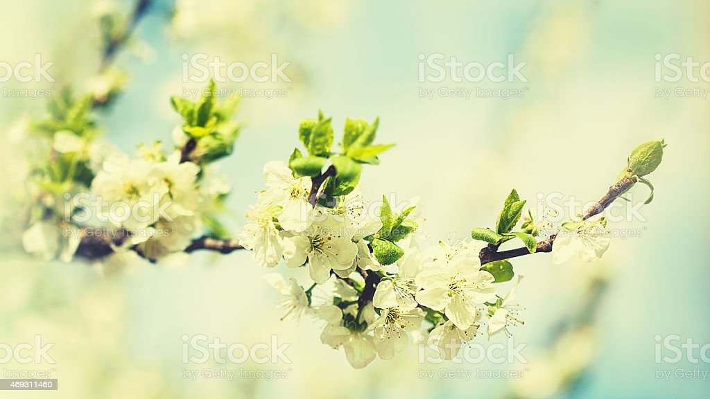 Beauty spring backgrounds with apple tree flowers stock photo