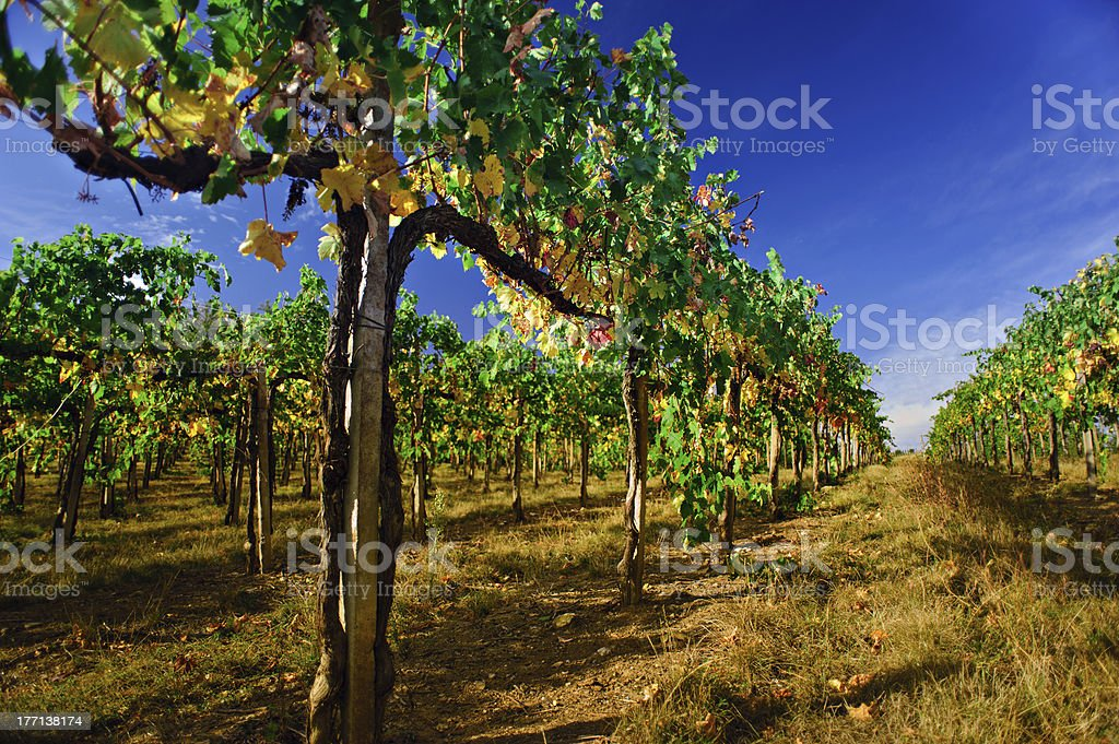 Beauty vineyards autumnal colours harvest production wine. Chianti, Tuscany, Italy stock photo