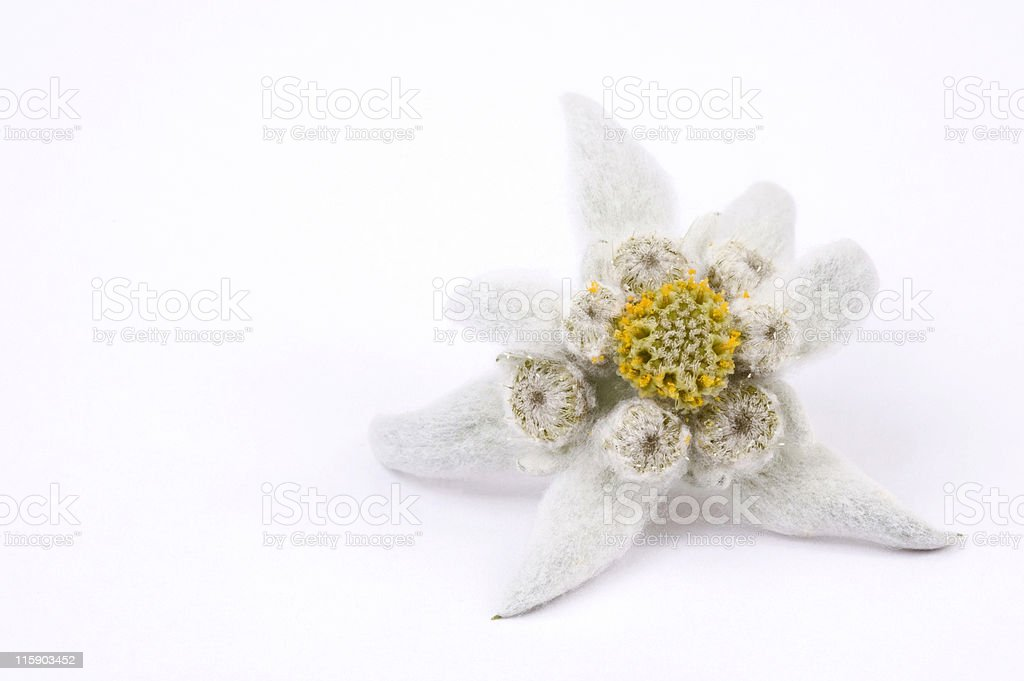 beauty white. edelweiss stock photo