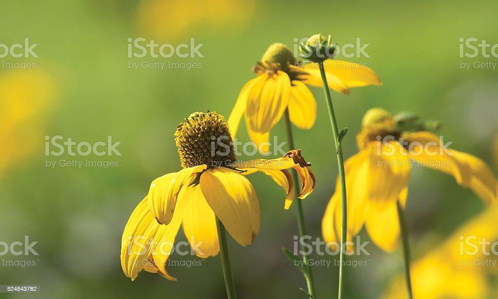 Beauty yellow Rudbeckia hirta flower stock photo