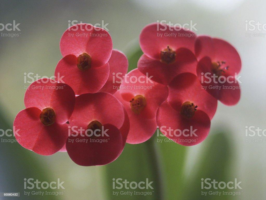 beautyful euphorbia royalty-free stock photo