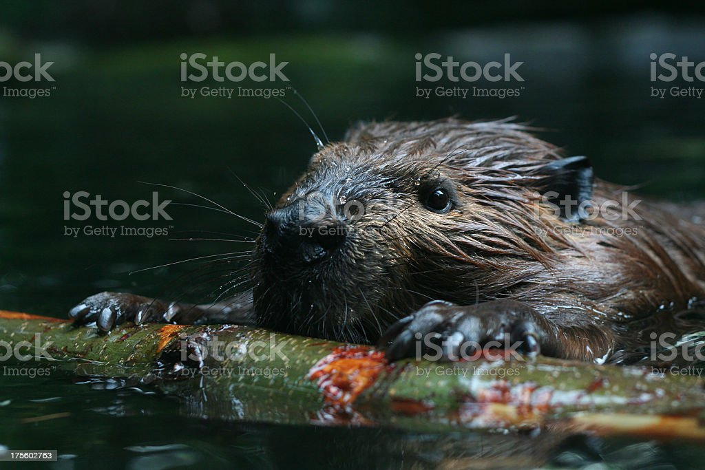 Beaver at sea observing nature stock photo