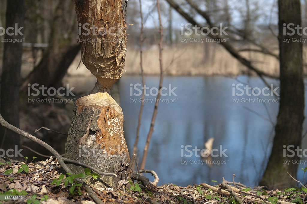 Beaver at work royalty-free stock photo