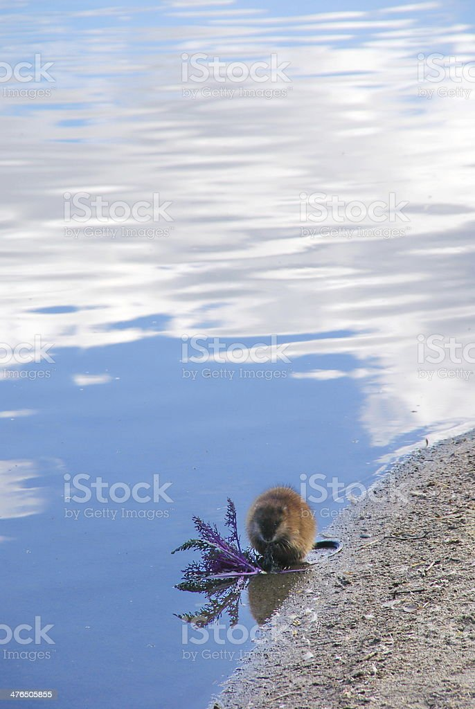 Beaver Breakfast Reflection royalty-free stock photo