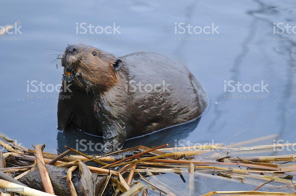 Beaver Building the Dam royalty-free stock photo