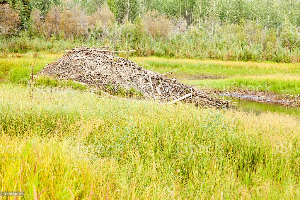 Beaver Castor canadensis lodge in taiga wetlands royalty-free stock photo