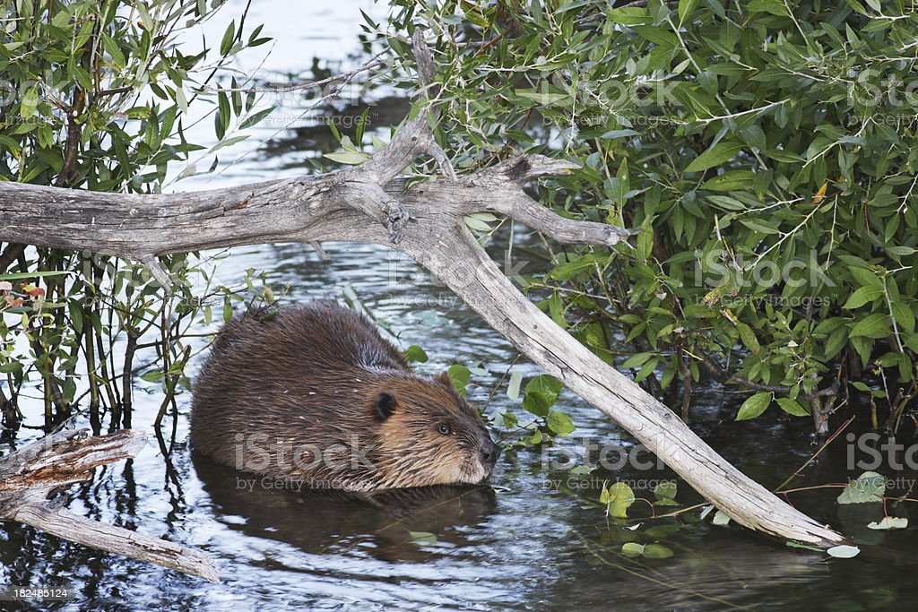 Beaver Castor canadensis Swimming stock photo