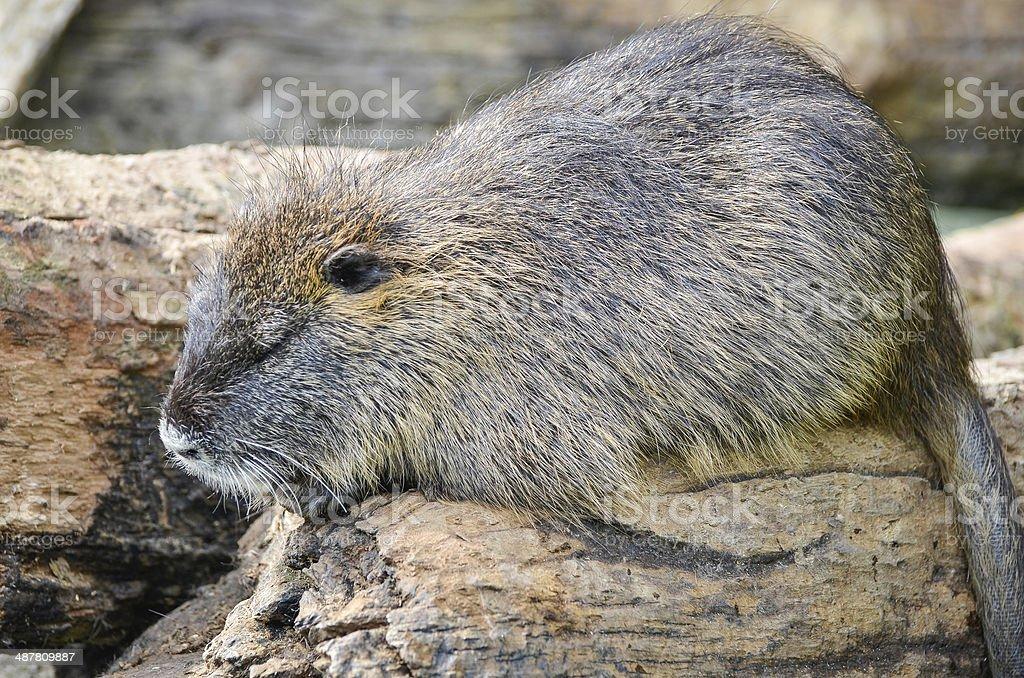 Beaver - Castor stock photo
