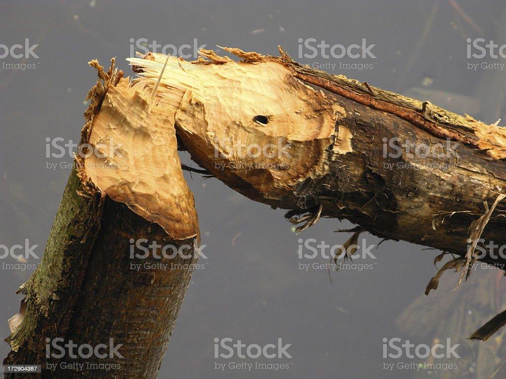 Beaver Chewed Tree Trunk royalty-free stock photo