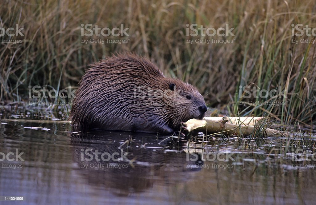 Beaver chewing on tree branch stock photo