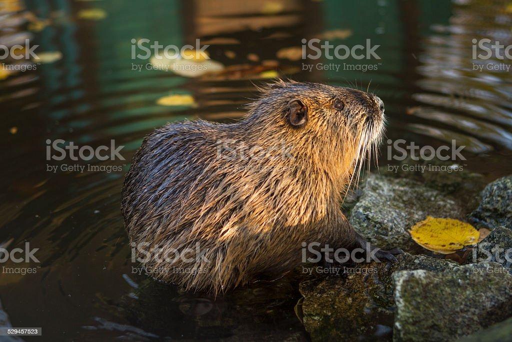 Beaver Close Up stock photo