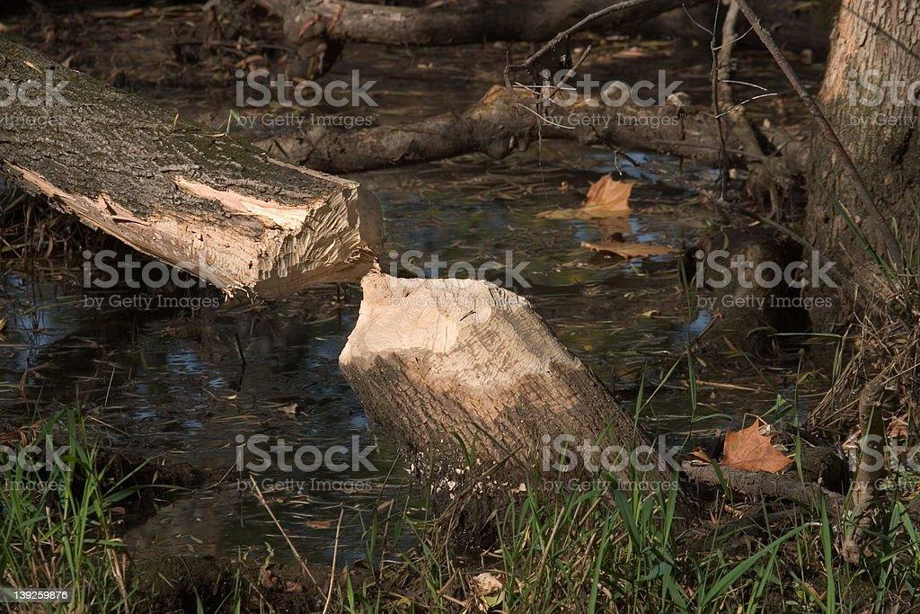 Beaver Cut Tree stock photo