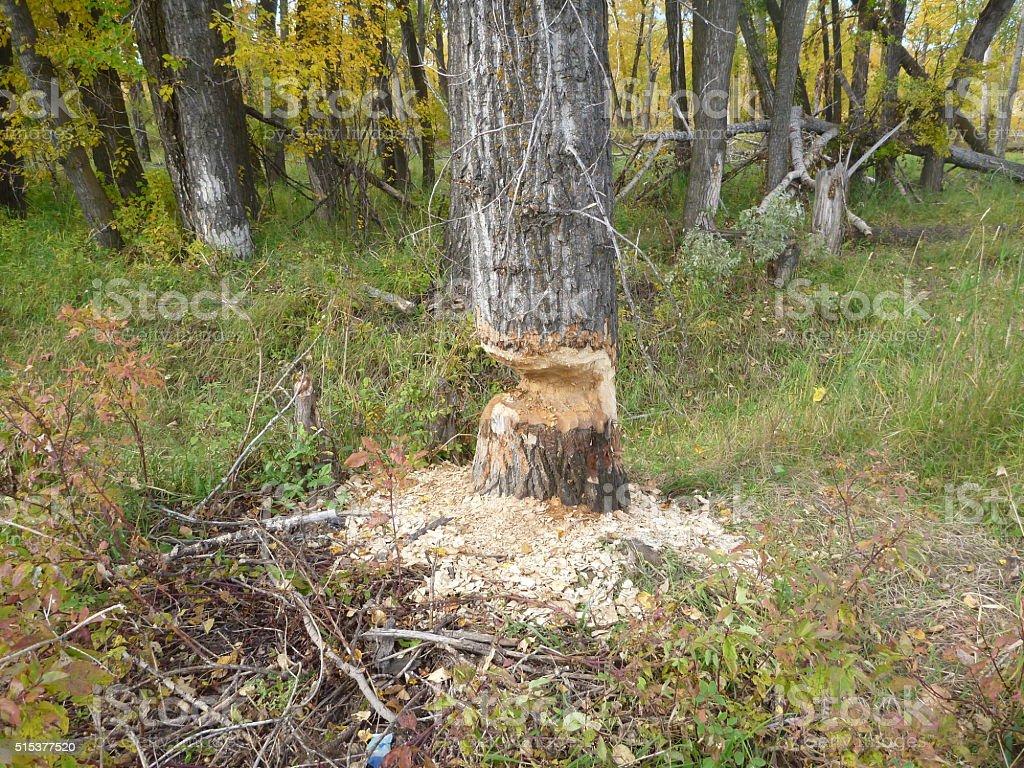beaver cuts stock photo