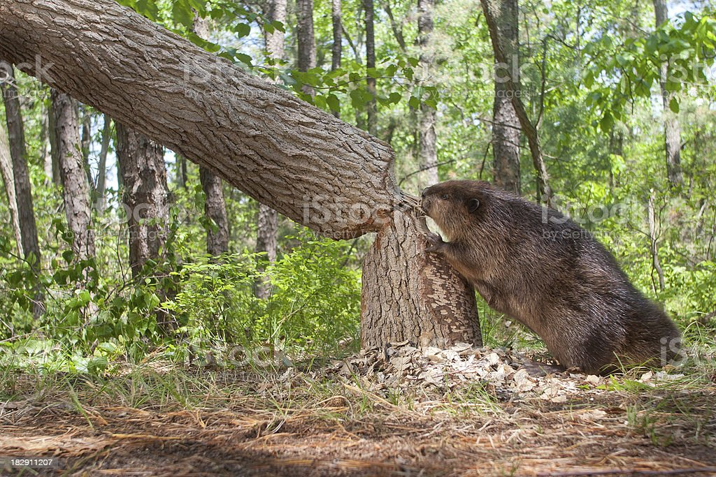 Beaver, cutting down a large oak tree stock photo