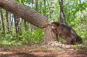 Beaver, cutting down a large oak tree