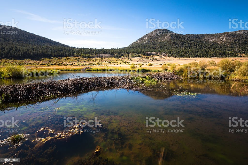 Beaver dam and lodge on the Carson River stock photo