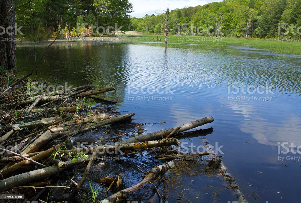 Beaver dam and pond in a Connecticut park. stock photo