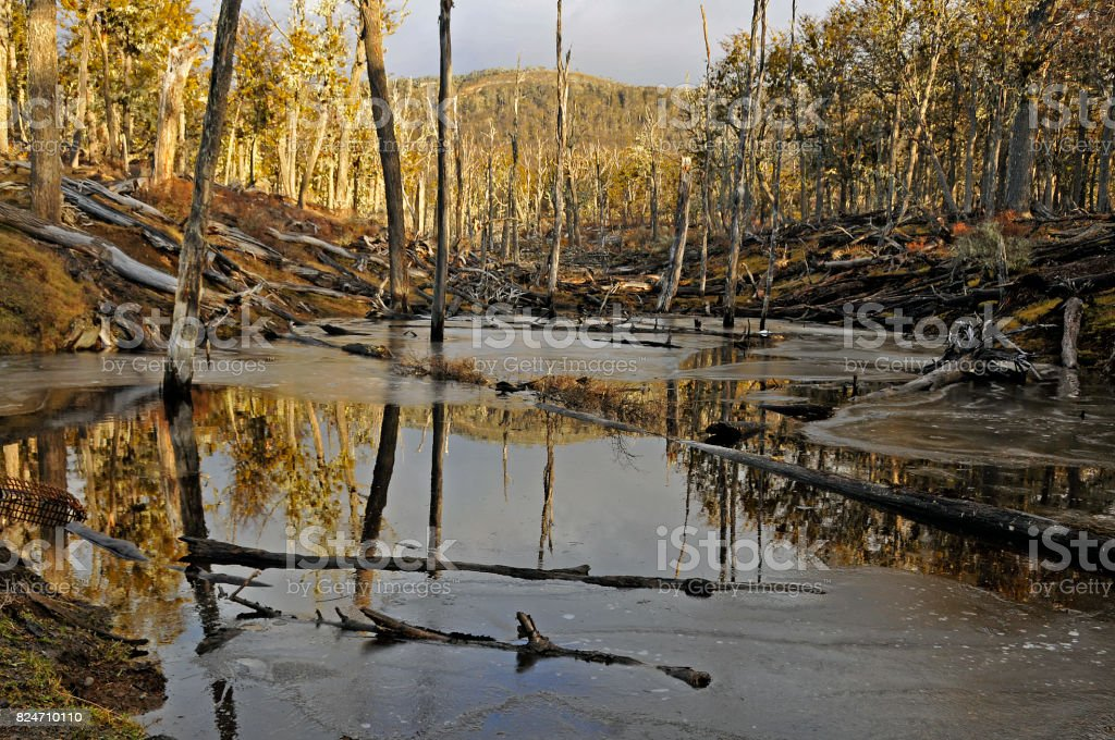 Beaver dam in patagonia stock photo