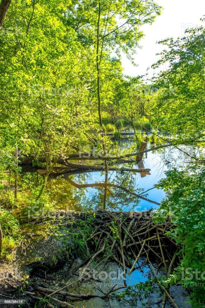 Beaver Dam in Wetlands National Park in Austria stock photo