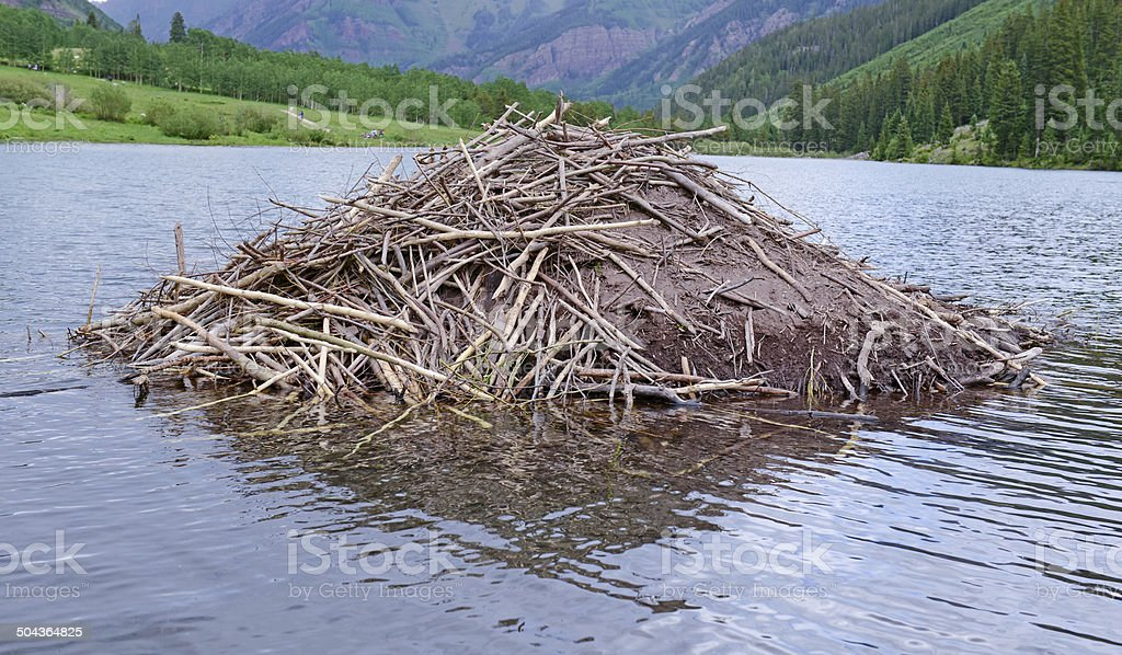 Beaver dam made of sticks and branches in pond stock photo