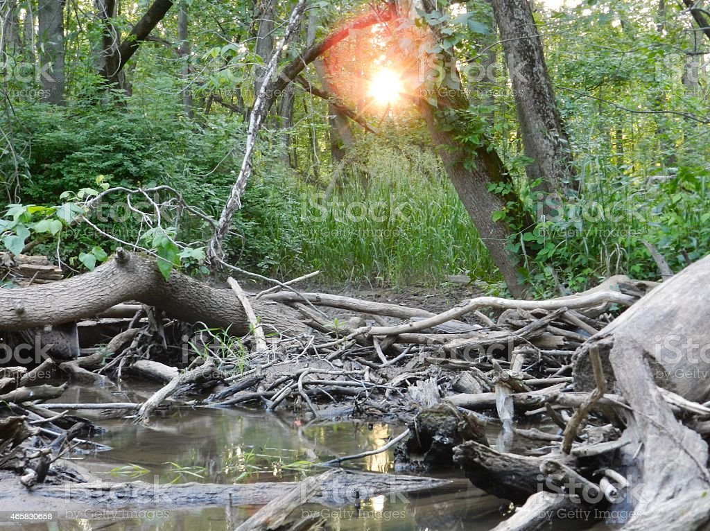 Beaver dam on a creek at sunset stock photo