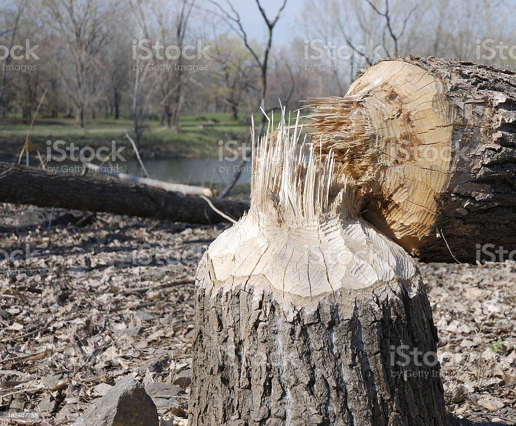 Beaver damage. royalty-free stock photo