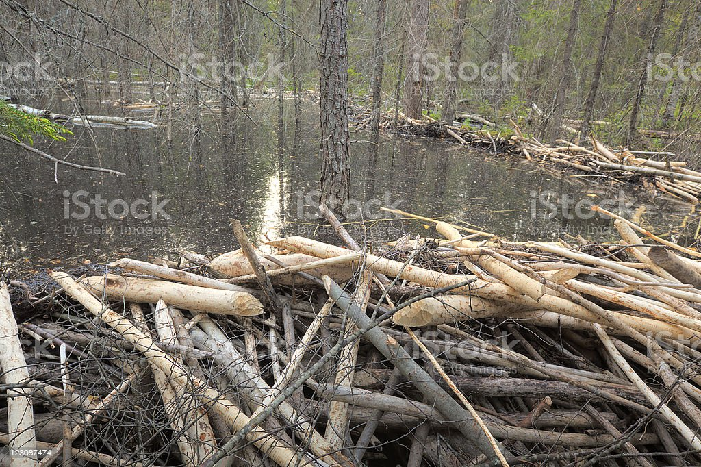 Beaver damming in forest, wide angle photo stock photo