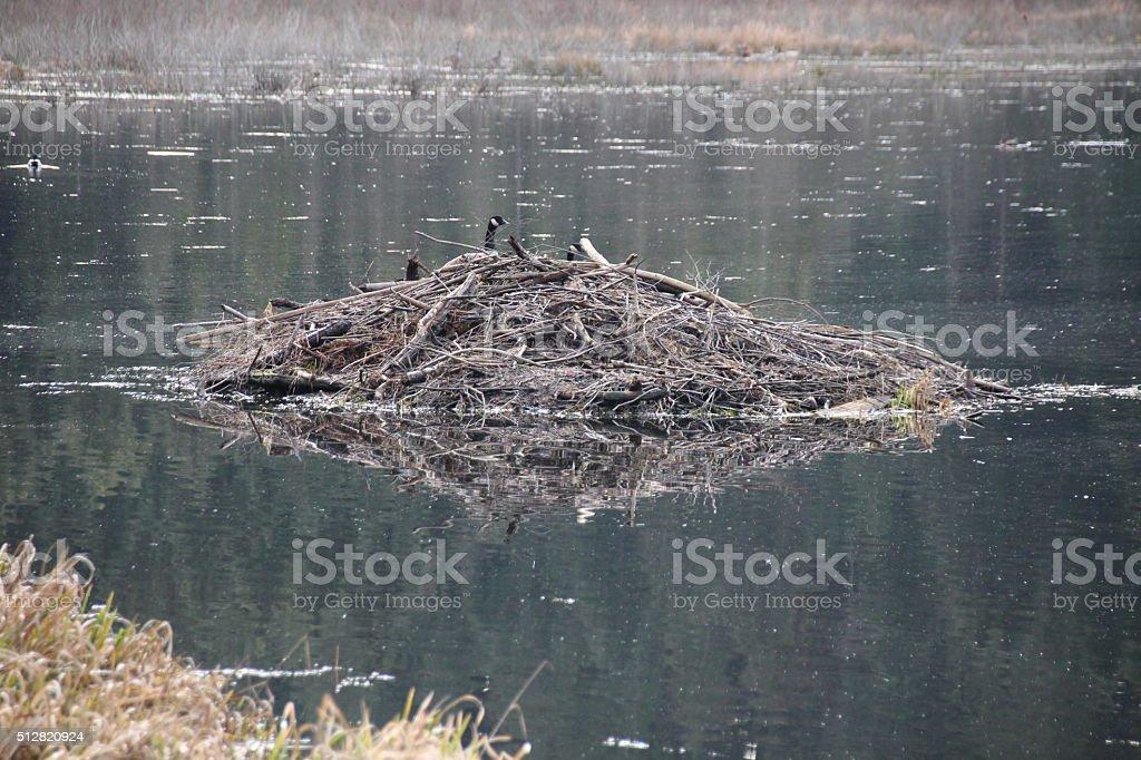Beaver Den stock photo