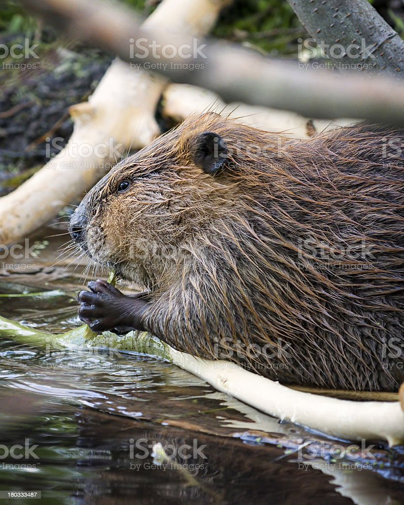 Beaver Dining in the Tetons stock photo