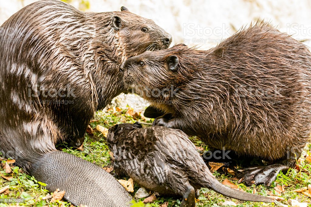 Beaver family on lake shore stock photo