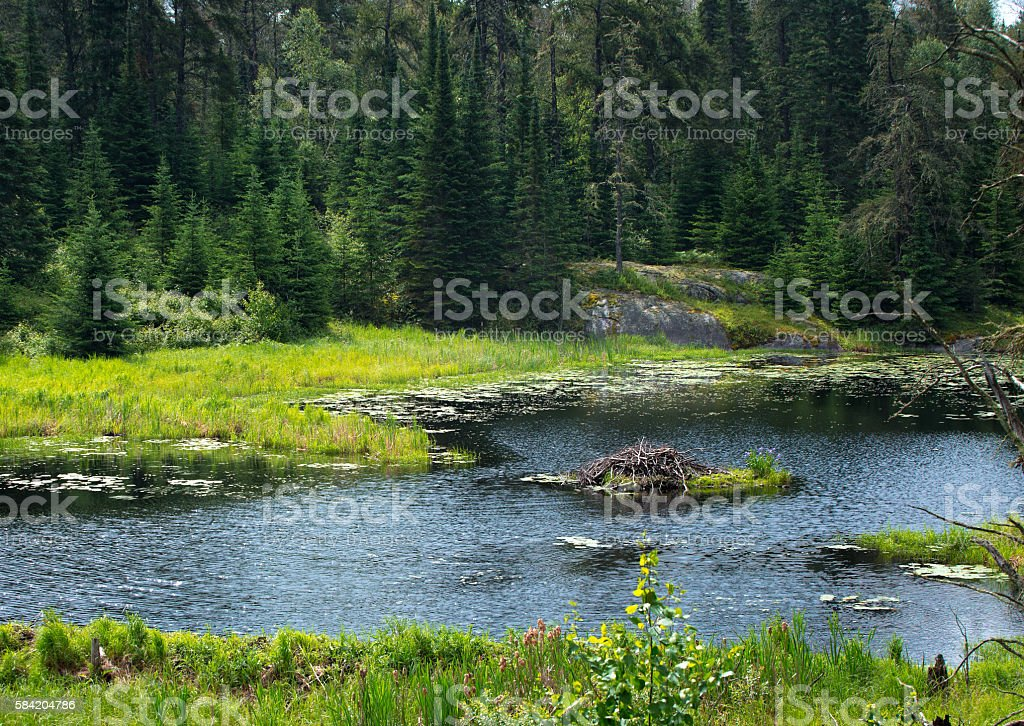Beaver home in canadian wildermess stock photo