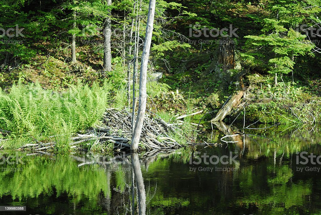 Beaver Home royalty-free stock photo