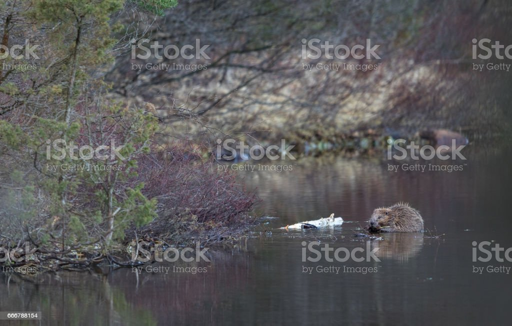 Beaver in natural environment, sitting in the water, eating. Lake in the Forest in Norway stock photo